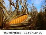 Closeup of dry corn cob ready...