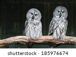 Two Great Grey Owls With...