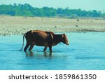 Cow Crossing The River Images...