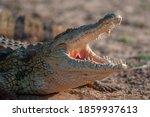 A Nile Crocodile Seen On A...