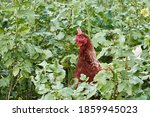 One Brown Free Range Chicken...