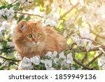 Closeup Portrait Orange Fur Cat ...