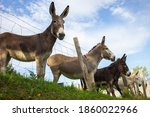 Group Of Fluffy Donkeys Behind...
