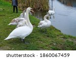 Swan Family On A Pond Shore In...