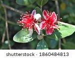 Feijoa Flower Close Up  Acca...