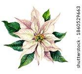 White Poinsettia Watercolor...