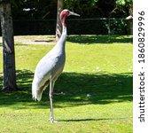 The Sarus Crane  Grus Antigone...