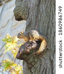 Squirrels In Trees On A Sunny...