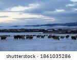 Flock Of Sheep Grazing In...