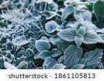 Photo Of Nettle Mint Leaves...