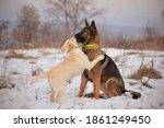 Beautiful German Shepherd Dog...