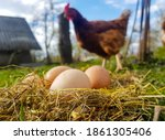 Chicken Eggs In A Nest Of Hay....