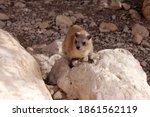 Close Up Of Rock Hyrax Sitting...