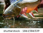 Bull trout caught and released while fishing a mountain stream