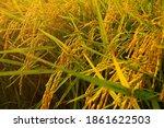 closeup seed rice field in...   Shutterstock . vector #1861622503