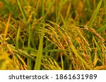 closeup rice field in harvest...   Shutterstock . vector #1861631989