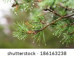 Pine tree with raindrops on the needles on rainy day - stock photo