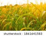 corn field with sunlight in...   Shutterstock . vector #1861641583