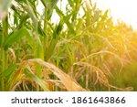 corn field with sunlight in...   Shutterstock . vector #1861643866