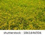 rice field in harvest season   Shutterstock . vector #1861646506