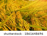 closeup rice field with...   Shutterstock . vector #1861648696