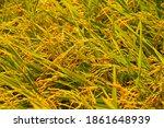 closeup rice field in harvest...   Shutterstock . vector #1861648939