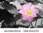 A Large Pink Lotus Isolated In...