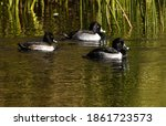 A Trio Of Ring Necked Ducks...
