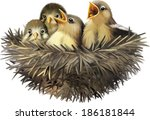 Four Hungry Baby Sparrows In A...