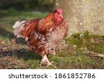 Red Rooster In The Garden