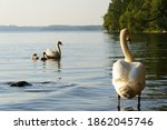 Small photo of Bevy of swan enjoy swimming in lake Mala Stockholm Sweden