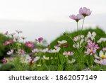 Colorful Chrysanthemum Flower...