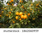 Yellow Tangerines On A Tree In...