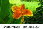 Canna Lily  Canna Indica Yellow ...