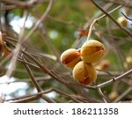Small photo of California buckeye (Aesculus californica) seed pods in autumn