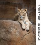 Female African Lion  Panthera...