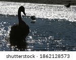 Black Silhouette Of A Swan In...