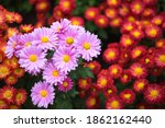 Pink And Red Chrysanthemums On...