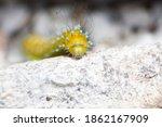 Giant Moth Caterpillar Among...