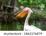 Pelican   Pelecanus   A Large...