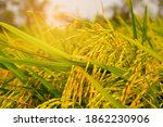 rice field with sunlight in...   Shutterstock . vector #1862230906