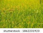 rice field farm in thailand   Shutterstock . vector #1862231923