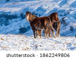 Wild Mountain Ponies In A Cold  ...