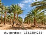 Plantation Of Date Palms...