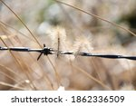Foxtail Grass In A Fence Row