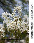 Small photo of Bloom of tree Amelanchier