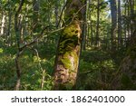 Green Moss On The Trunk Of An...
