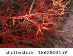 Horizontal Cotoneaster Hedge I...