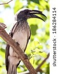 Small photo of African Grey Hornbill in Okavango Delta - Moremi National Park in Botswana