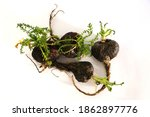Small photo of Maca. Peruvian root for vitality, energy and healty. Black Peruvian Maca in white background. Root aphrodisiac for health